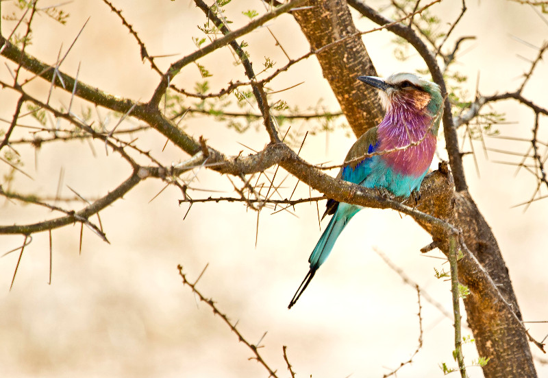 large_Lilac_Breasted_Roller_2.jpg