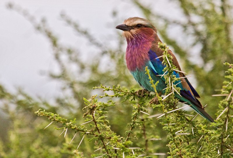 large_Lilac_Breasted_Roller_5-1.jpg