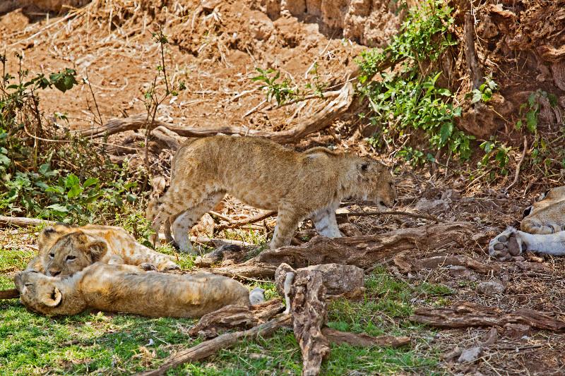 large_Lion_2.jpg