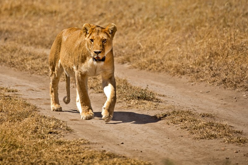 large_Lion_402.jpg