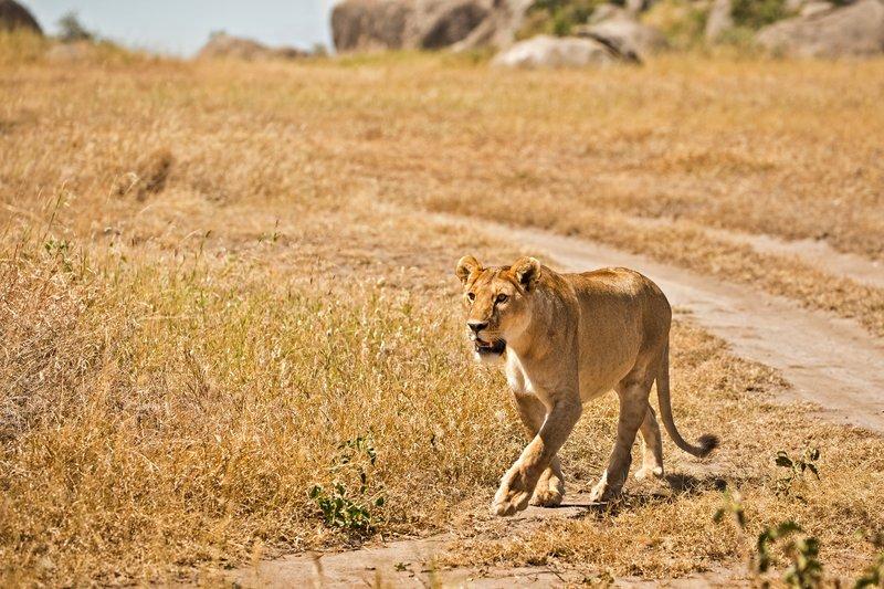 large_Lion_403.jpg