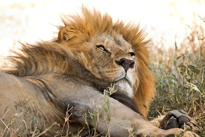 large_Lion_406.jpg