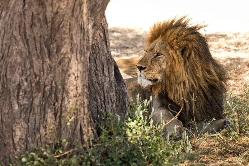 large_Lion_408.jpg