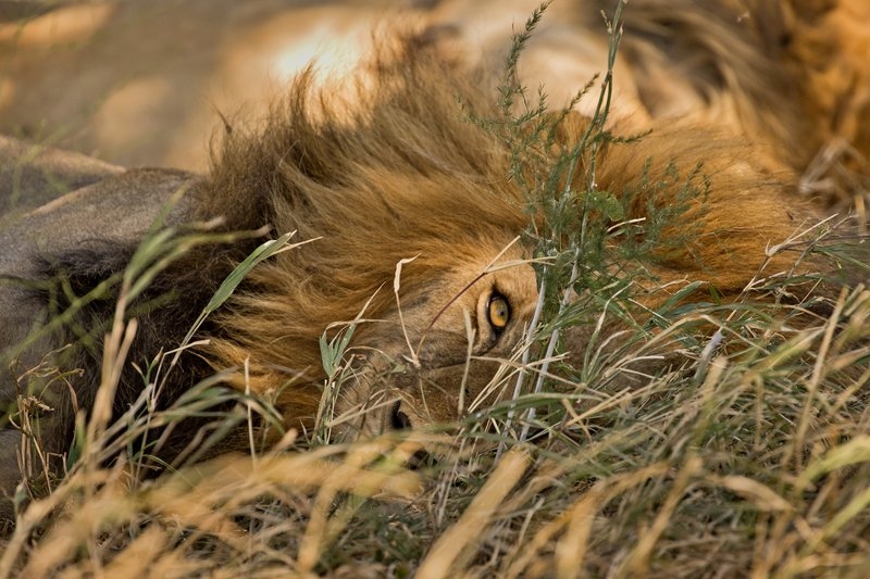 large_Lion_414.jpg