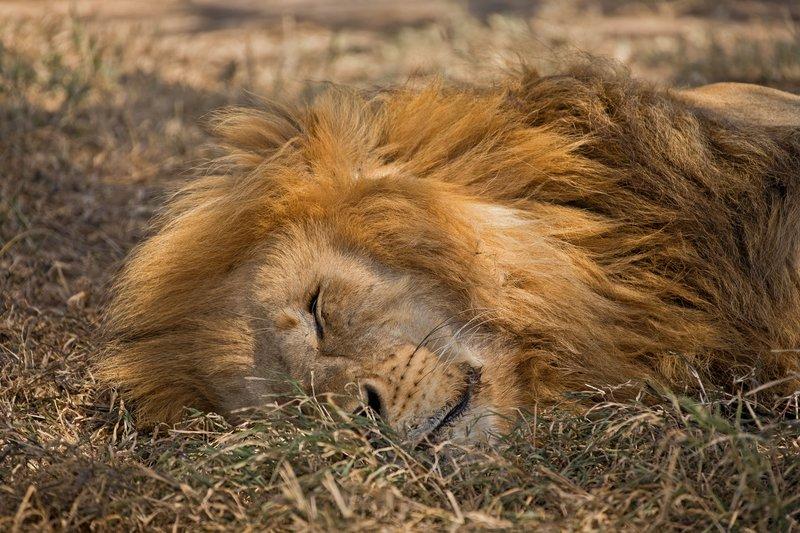 large_Lion_415A.jpg
