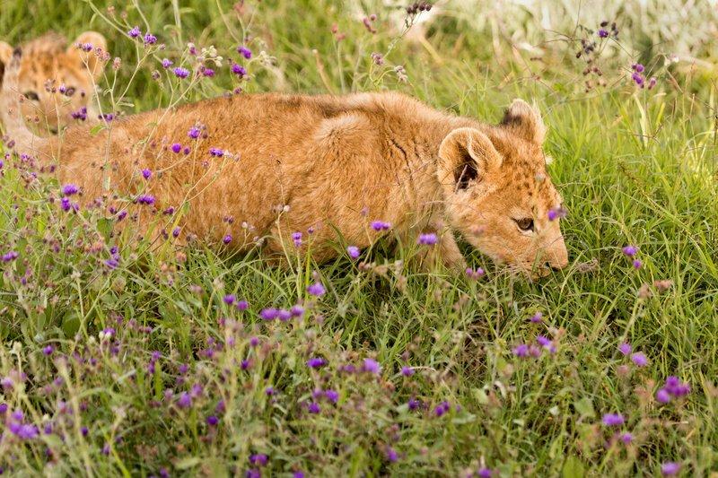 large_Lion_6-103.jpg