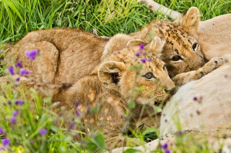 large_Lion_6-25.jpg