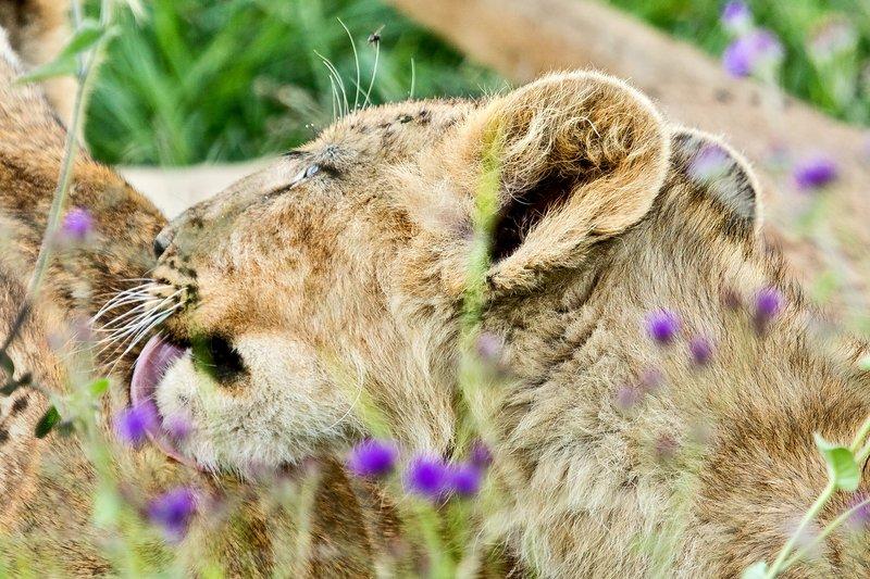 large_Lion_6-33.jpg