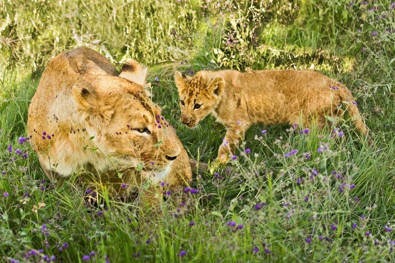 large_Lion_6-36.jpg
