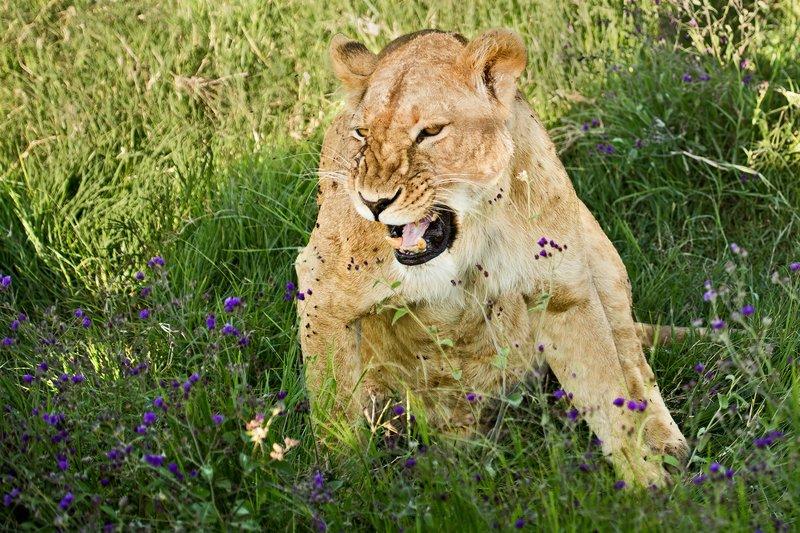 large_Lion_6-37.jpg