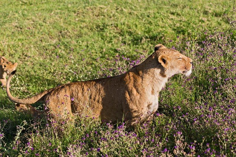 large_Lion_6-84.jpg