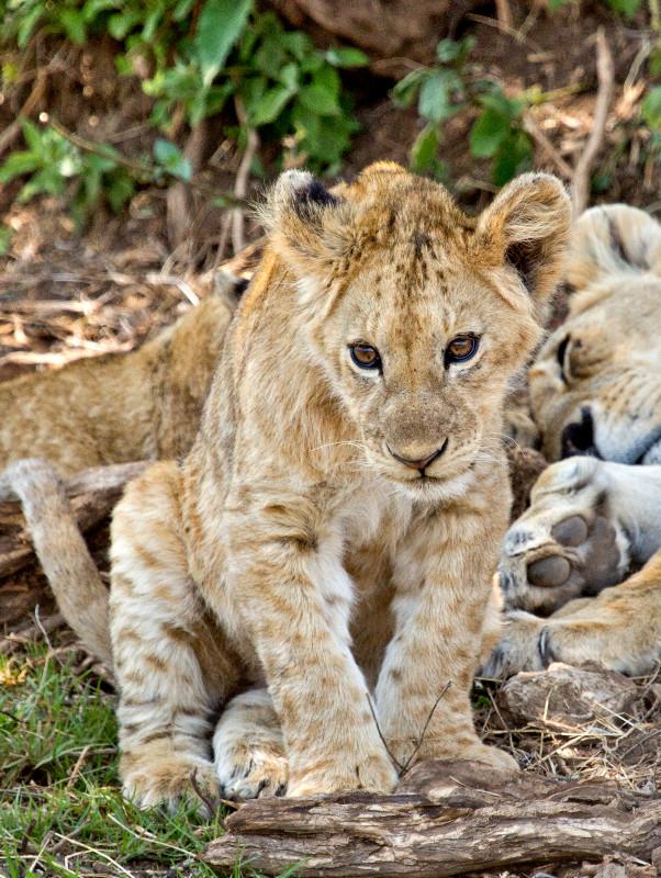 large_Lion_6.jpg