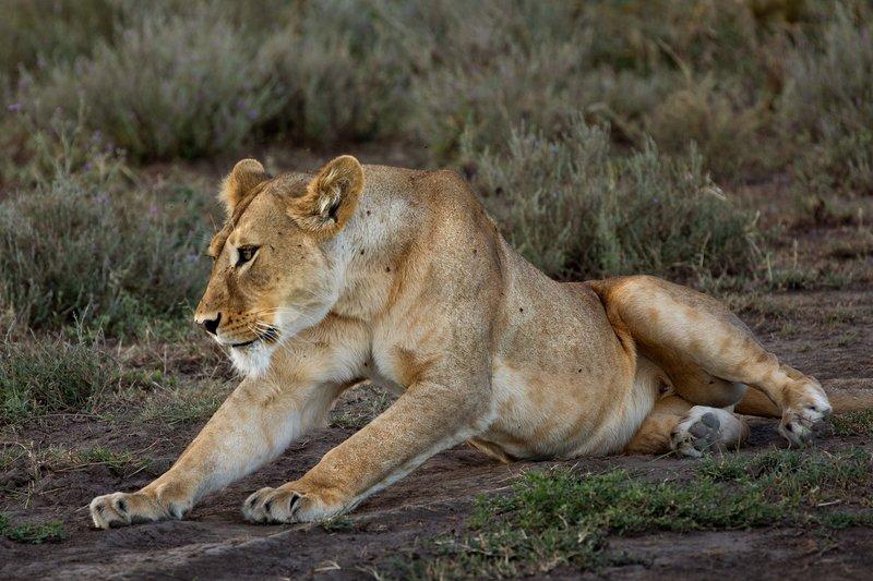 large_Lion_71.jpg