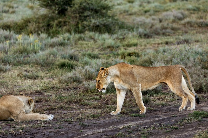 large_Lion_72.jpg