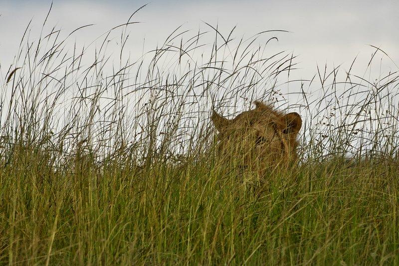 large_Lion_79.jpg