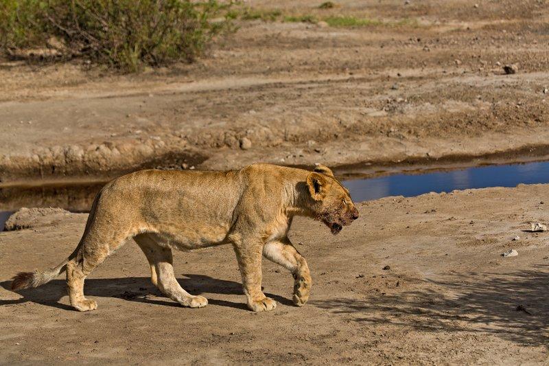 large_Lion_8-103.jpg