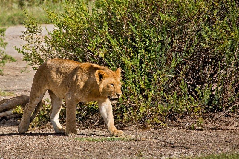 large_Lion_8-106.jpg
