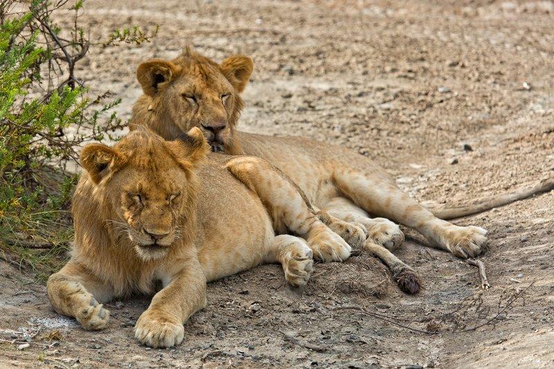 large_Lion_8-118.jpg