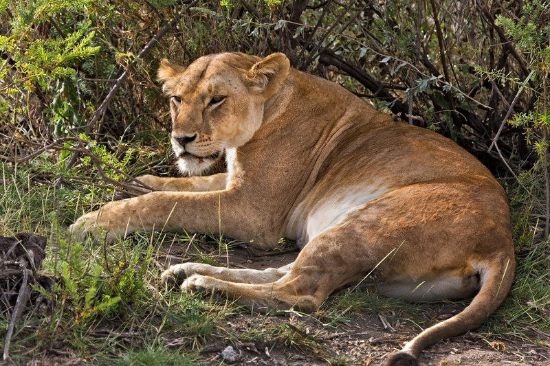 large_Lion_8-119.jpg