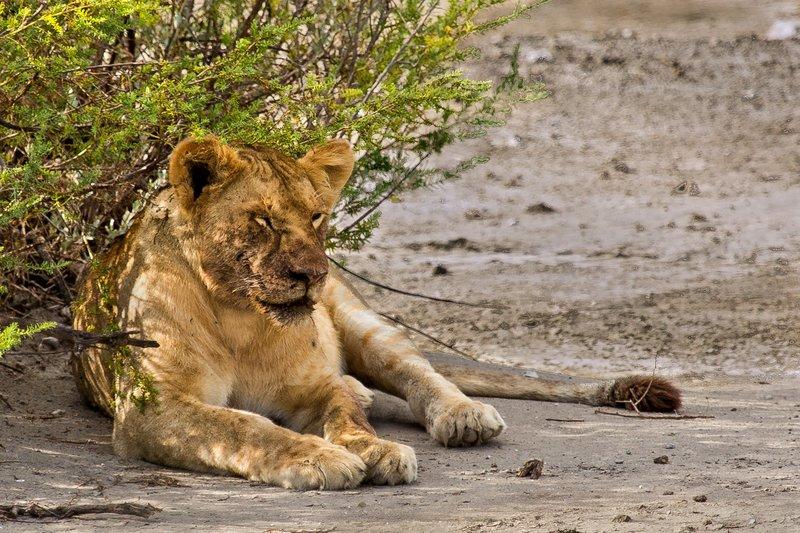 large_Lion_8-120.jpg
