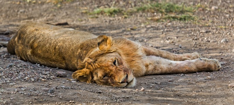 large_Lion_8-126.jpg