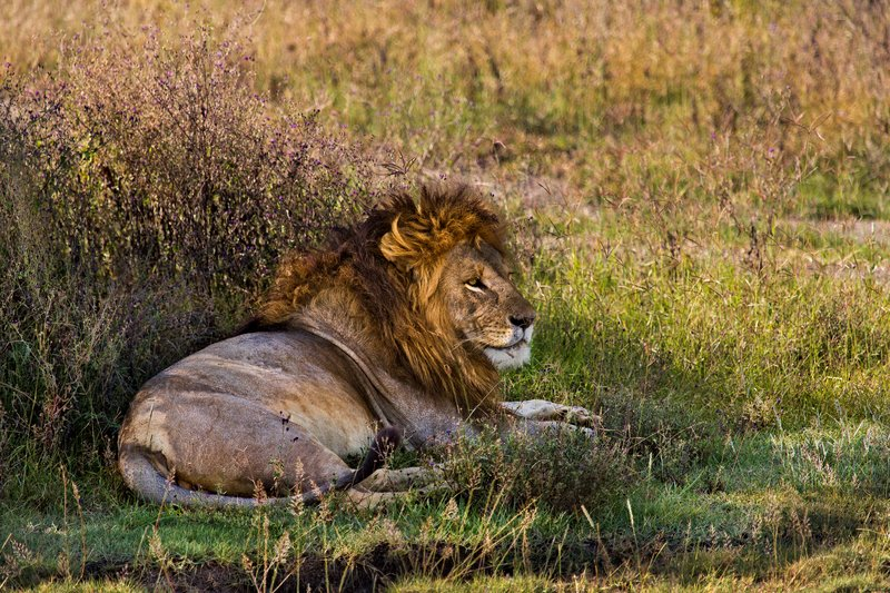 large_Lion_8-15.jpg