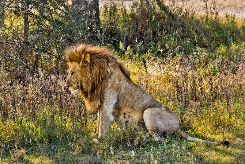 large_Lion_8-20.jpg