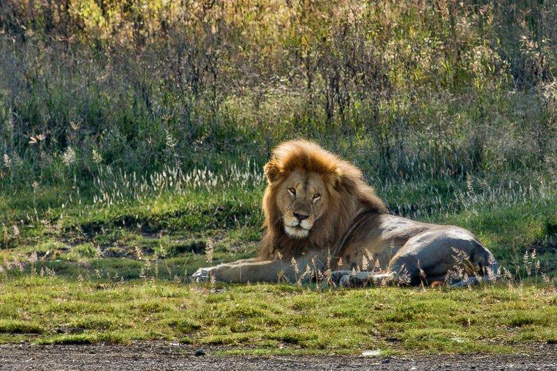large_Lion_8-3.jpg