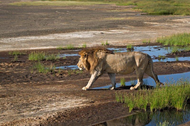 large_Lion_8-9.jpg