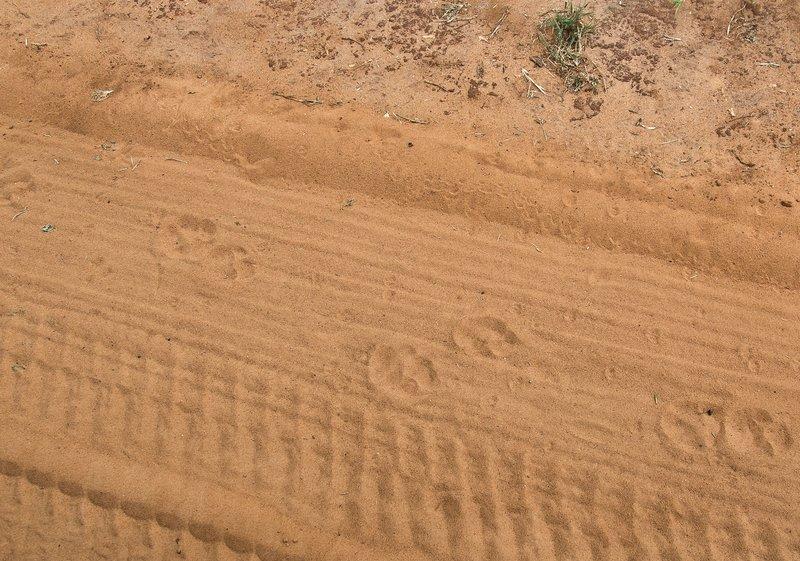 large_Lion_Footprints_5-1.jpg