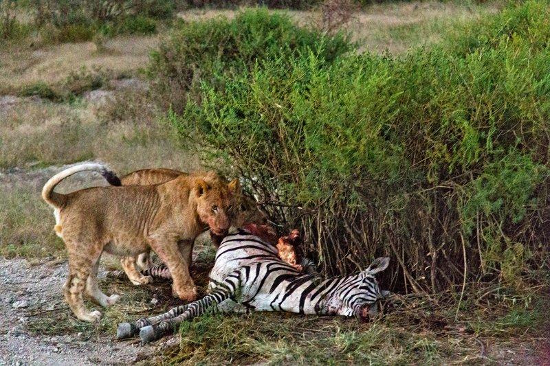 large_Lion_Kill_7-1.jpg