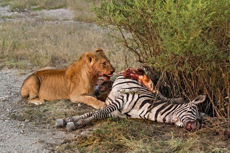 large_Lion_Kill_7-48.jpg