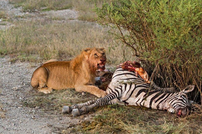 large_Lion_Kill_7-49.jpg