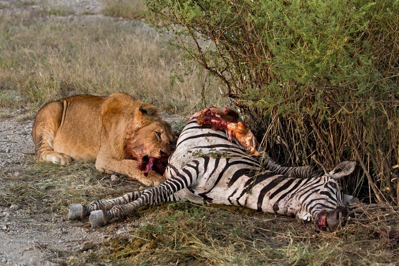 large_Lion_Kill_7-51.jpg