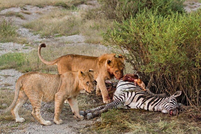 large_Lion_Kill_7-55.jpg