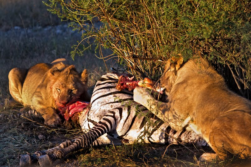large_Lion_Kill_7-9.jpg