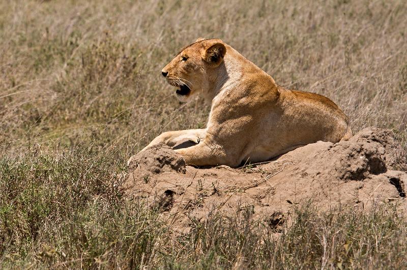 large_Lion_Traffic_Jam_2.jpg