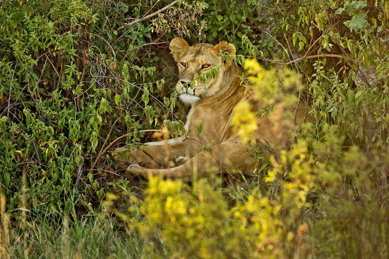 large_Lion__Maas..ide__ZZZZZZ.jpg