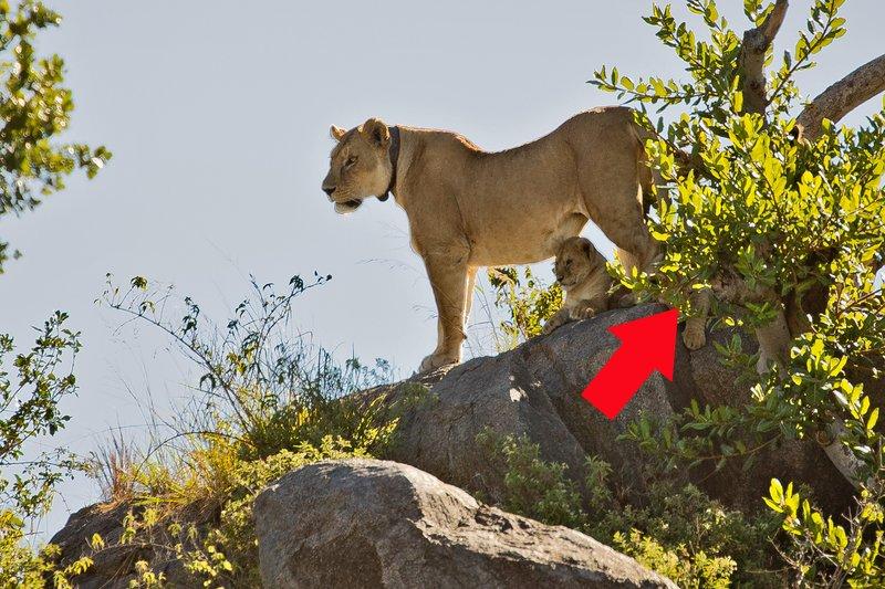 large_Lion__Maasai_Pride__10A.jpg