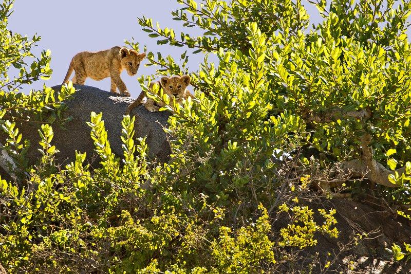 large_Lion__Maasai_Pride__15.jpg