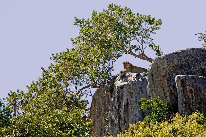 large_Lion__Maasai_Pride__17.jpg