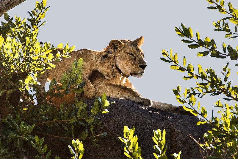 large_Lion__Maasai_Pride__2.jpg