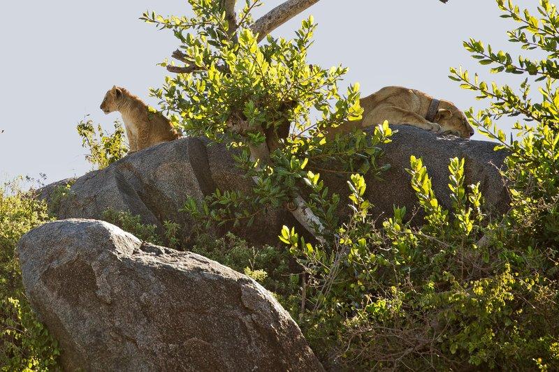 large_Lion__Maasai_Pride__4.jpg