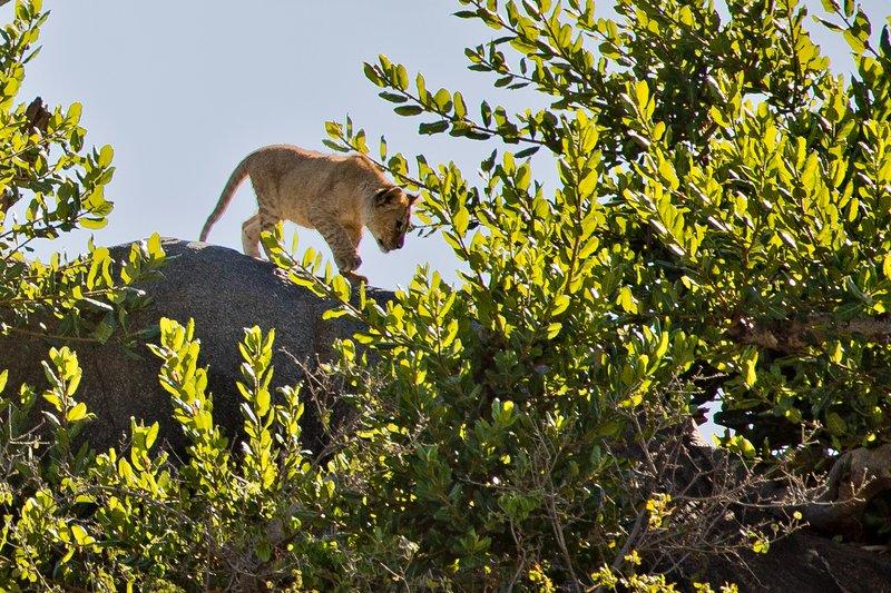 large_Lion__Maasai_Pride__9.jpg
