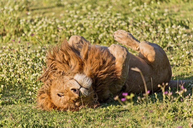 large_Lion__Rasta_6-2.jpg