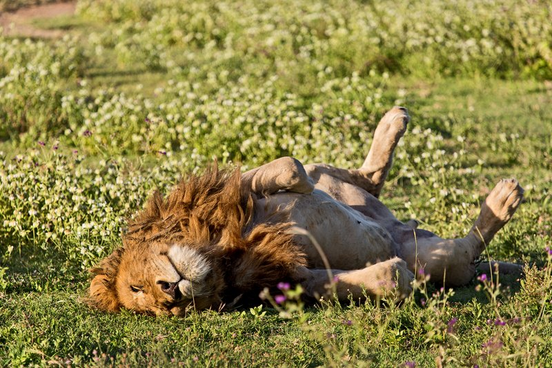 large_Lion__Rasta_6-4.jpg