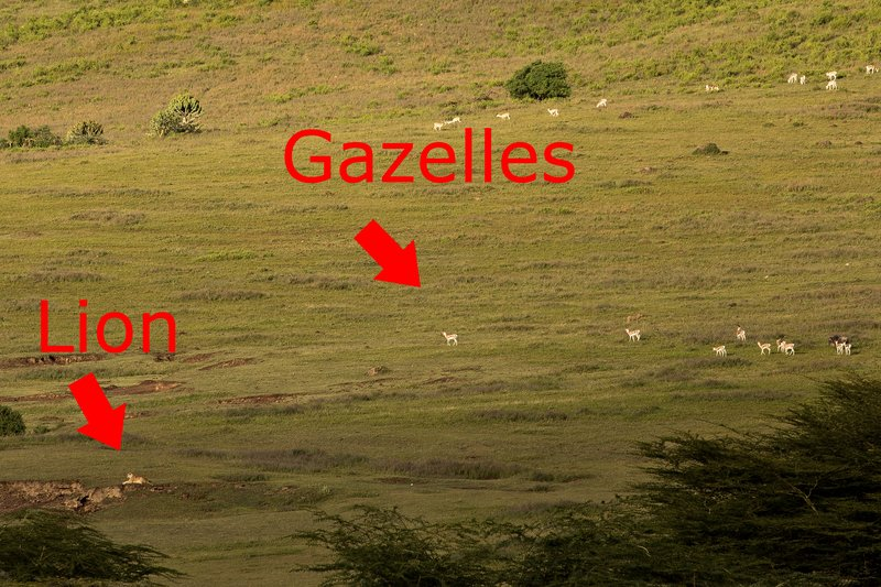 large_Lion_and_Gazelles_1A.jpg