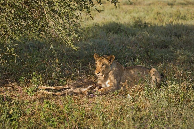 large_Lion_with_..st_Dinner_1.jpg