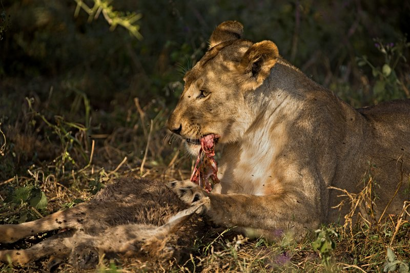large_Lion_with_..st_Dinner_4.jpg