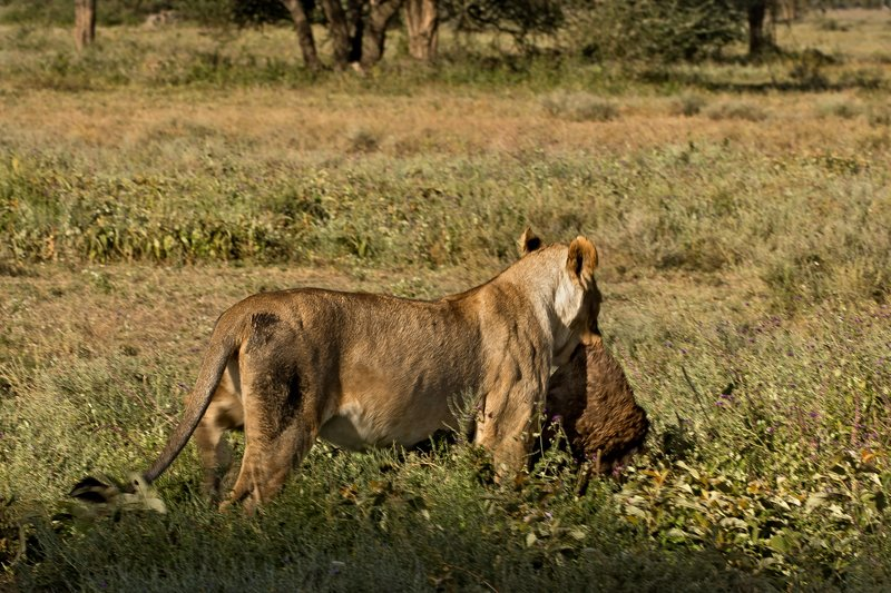 large_Lion_with_..t_Dinner_20.jpg